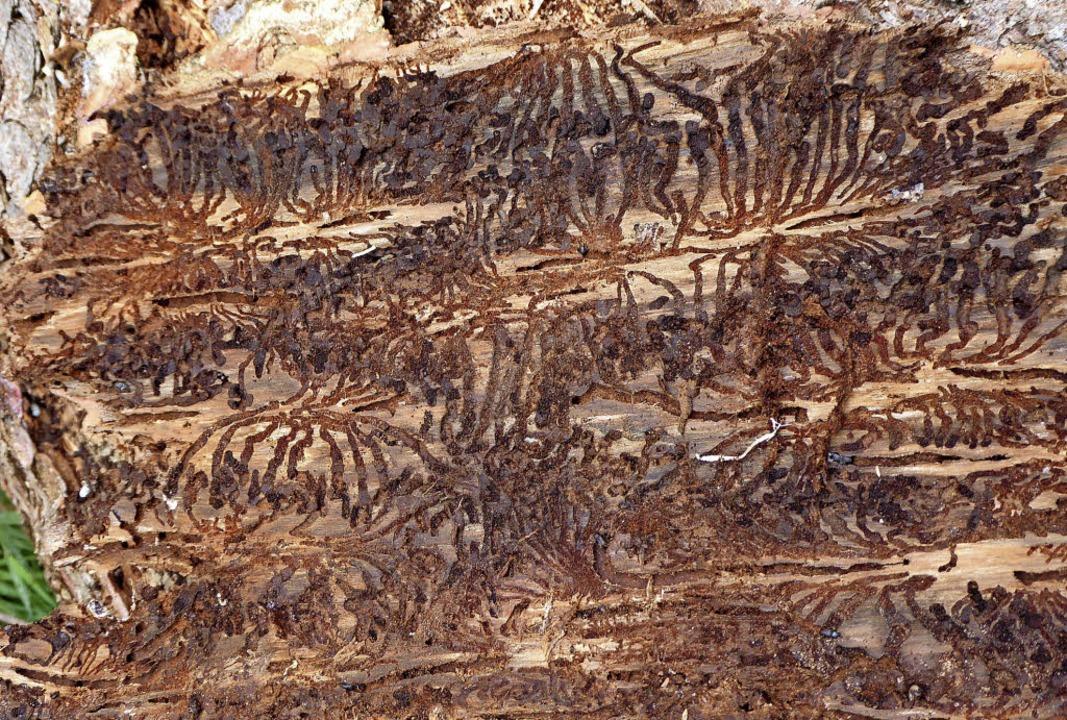 Dem Fraßbild, das der Borkenkäfer in d... kommt  Waldbesitzer teuer zu stehen.     Foto: Peter Stellmach/dpa (1)