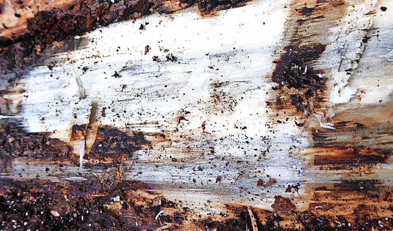 Die wertmindernde Blaufärbung des Holzes ist deutlich zu erkennen.    Foto: Peter Stellmach