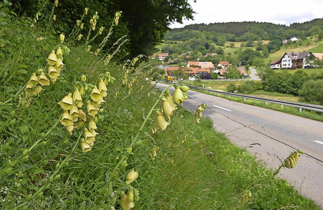 Bei Kirchhausen wächst der Große Gelbe Fingerhut am Straßenrand.     Foto: Ralf Bürglin