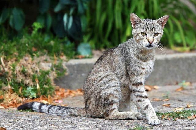 Lahrer Stadtteil will streunende Katzen kastrieren