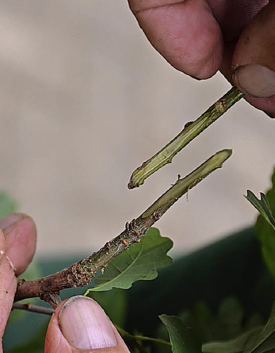 Die Grundpflanze und der Eichenast hab...chnitt und werden aufeinandergepresst.  | Foto: Max Schuler