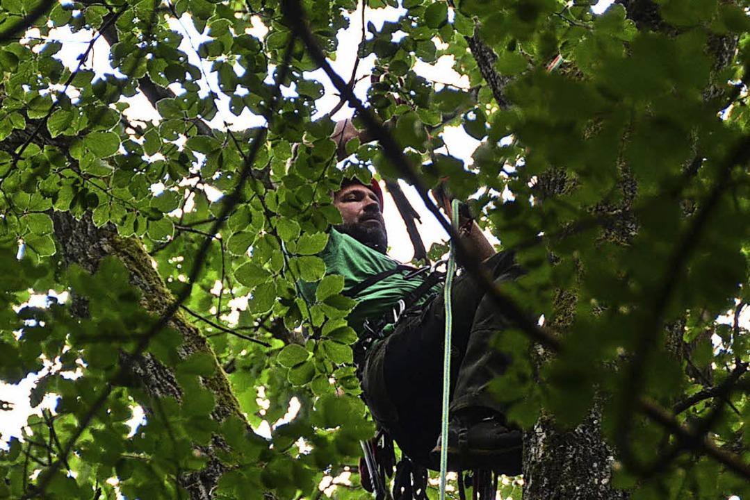 Andreas Wöhl schneidet in 40 Metern Höhe Äste für das Zuchtprojekt.  | Foto: Max Schuler