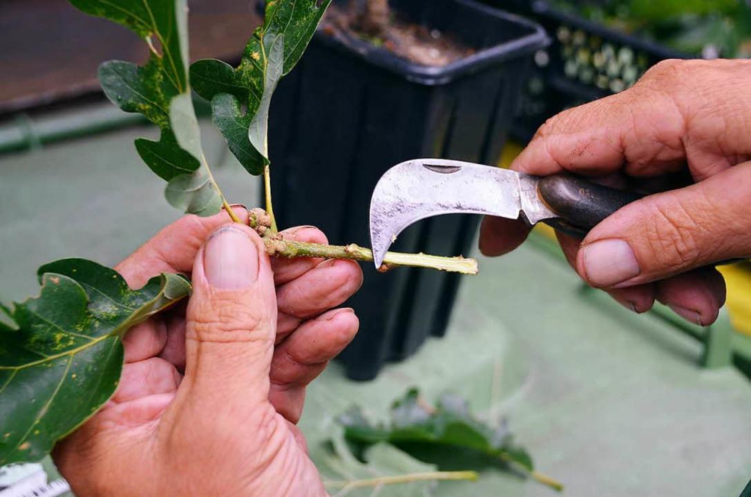 Wie kopiert man einen Baum? Gärtnermei...h dieser Ast wird zurecht geschnitten.  | Foto: Max Schuler