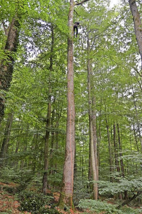 Wer auf Bäume klettert, sollte schwind... Wöhlbrüder  auf bis zu 60 Meter hoch.  | Foto: Max Schuler