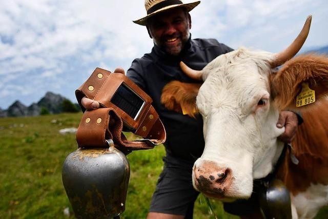 In den Alpen sollen Kühe mit Sendern ausgestattet werden