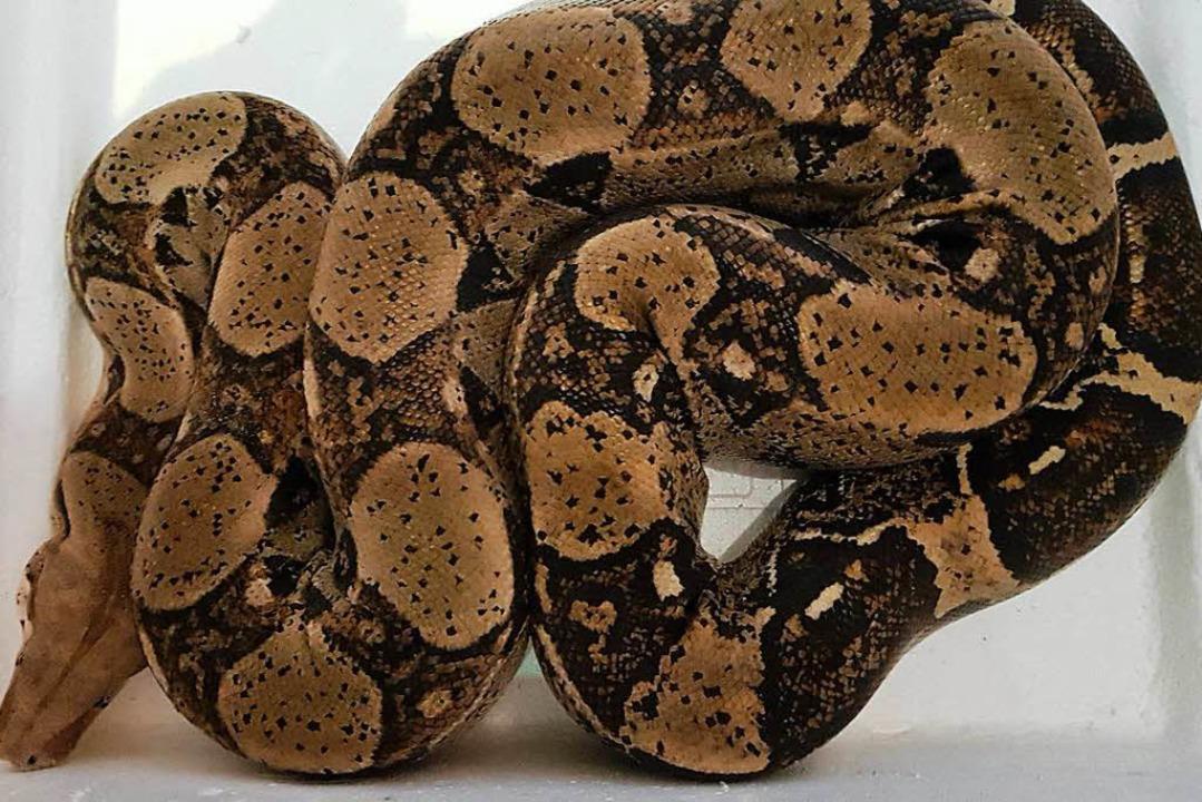 Passt kaum aufs Foto: die Boa constrictor  | Foto: Privat