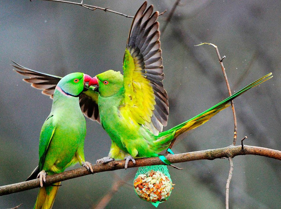 Ein grüner Papagei wurde in Utzenfeld aus einer Voliere gestohlen.  | Foto: Julian Stratenschulte