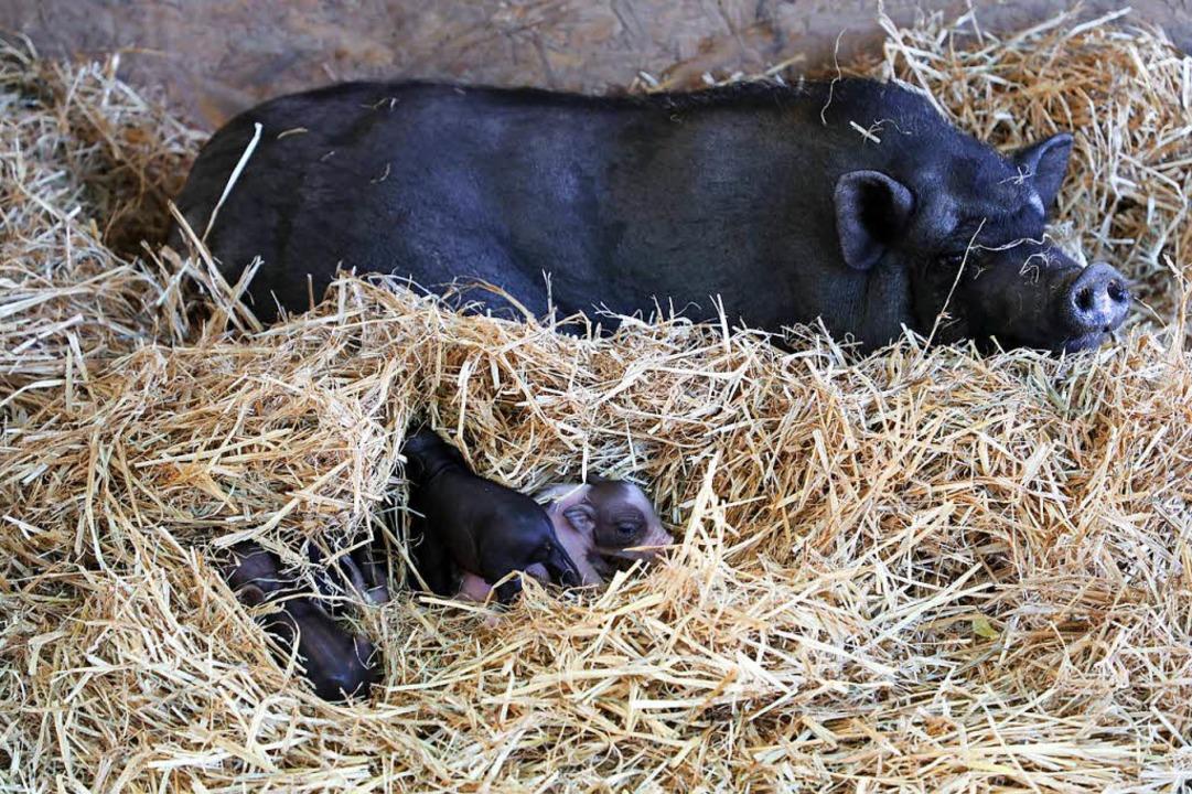Erst wenige Tage alt sind die  Baby-Ferkel des gefundenen Hängebauchschweins.  | Foto: Christoph Breithaupt