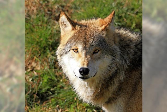 Wanderung auf den Spuren der Wölfe auf dem Feldberg, am 22. Juli.