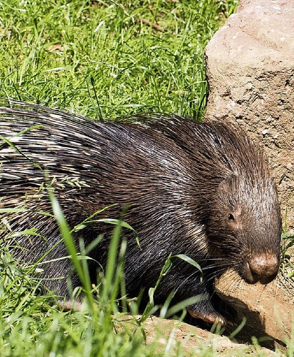 Neu im Zoo: Stachelschwein und Waldrapp-Junges.     Foto: Verein