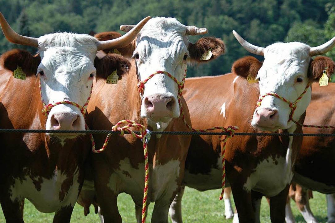Rinder sollen keine Todesangst haben: ... Schlachteinheit leisten (Symbolbild).  | Foto: Kathrin Ganter