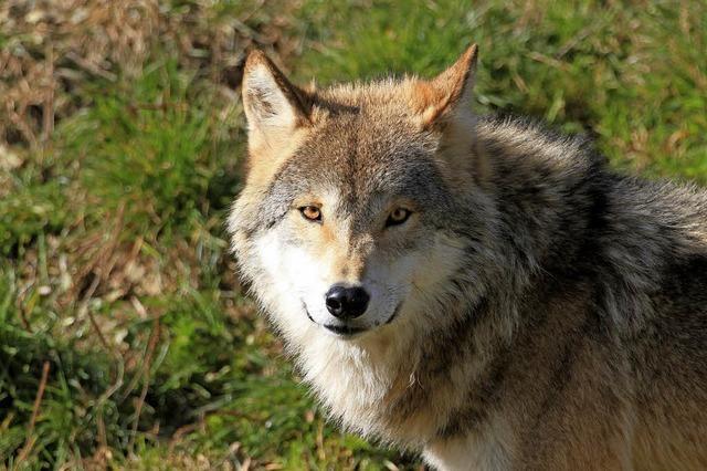 Wanderung am Feldberg - ein guter Ort für Wölfe?