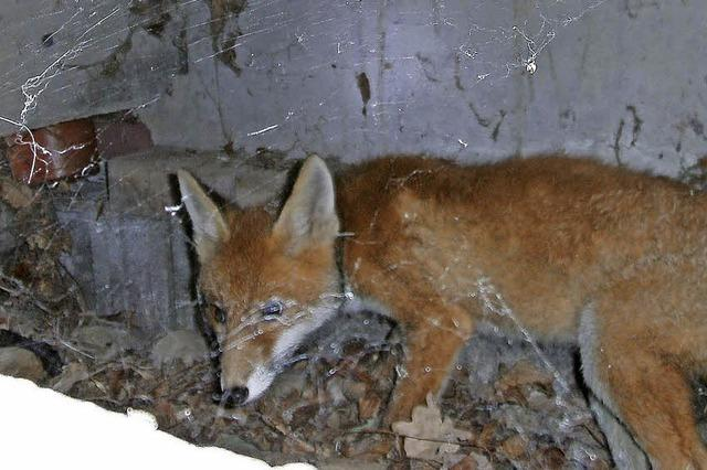 Fuchs am Hauseingang