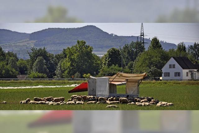 Sonnenschutz für Schafe