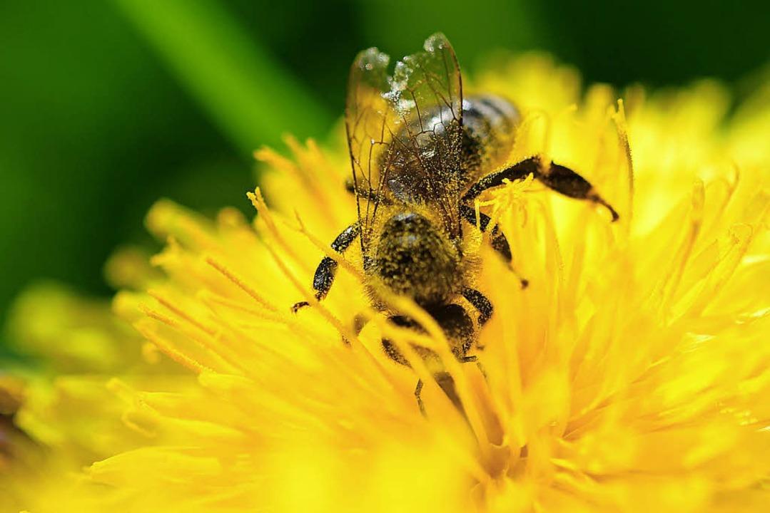 Bei der Arbeit: Eine Biene in einer Löwenzahnblüte  | Foto: dpa