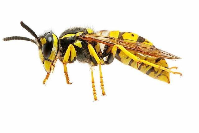 Warum können Wespen immer wieder zustechen?
