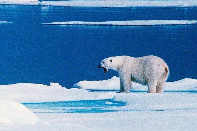 Eisbär verletzt deutsches Crew-Mitglied auf Spitzbergen