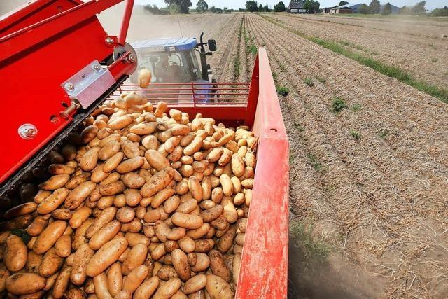 Dürre trifft Kartoffeln: Pommes könnten teurer werden