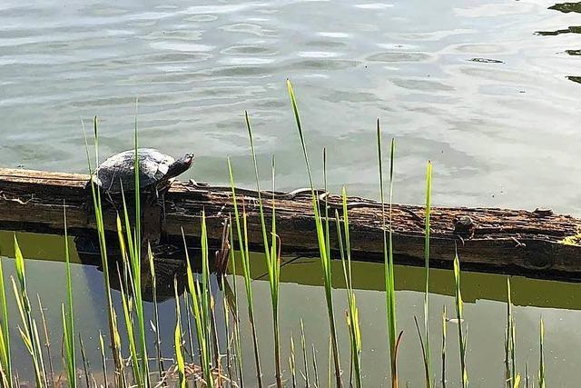 Ringelnatter und Schildkröte sonnen sich beim Waldkircher Stadtrainsee
