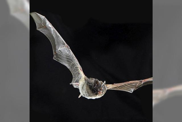 Exkursion zum Thema Fledermäuse im Haus der Natur, Feldberg