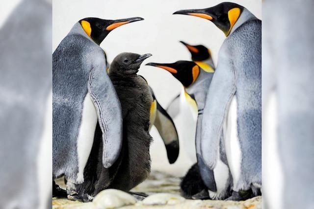 Pinguin-Kolonie bricht um fast 90 Prozent ein