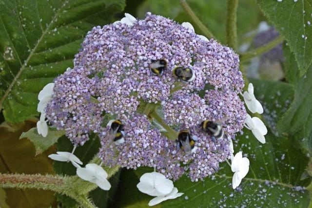 Blaue Blütenpollen schmücken Hortensie