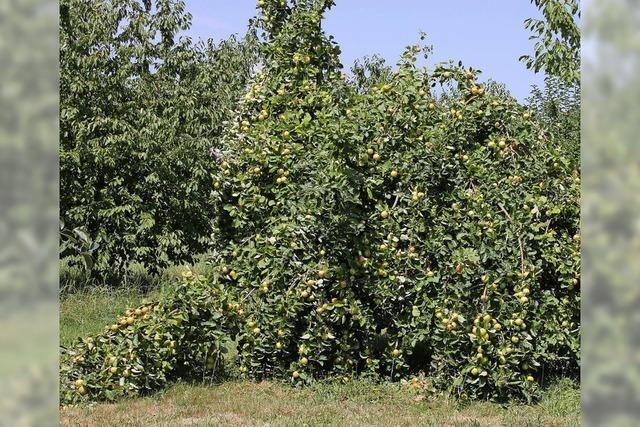 Übervolle Obstbäume, darbender Mais