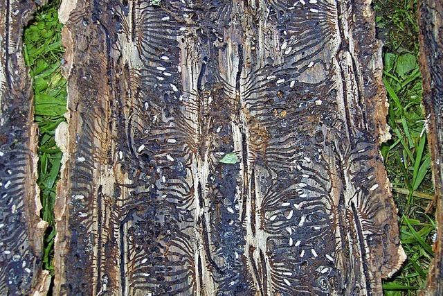 Käfer bedrohen den Wald