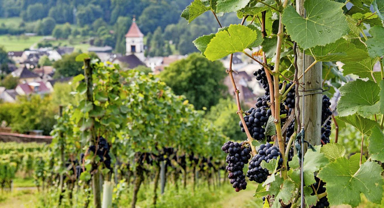 Die Rebberge über Münchweier sind demnächst wieder Ziel einer Weinwanderung.   | Foto: Olaf Michel