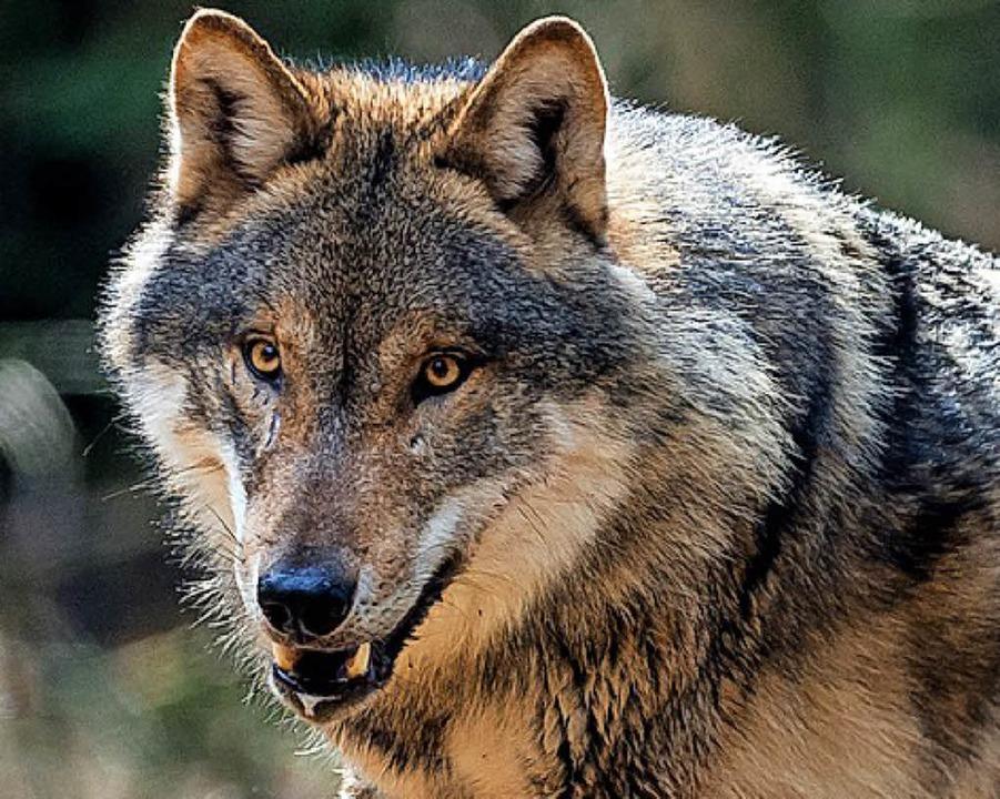 Der Wolf und der Schwarzwald –  passt das zusammen?       Foto: dpa
