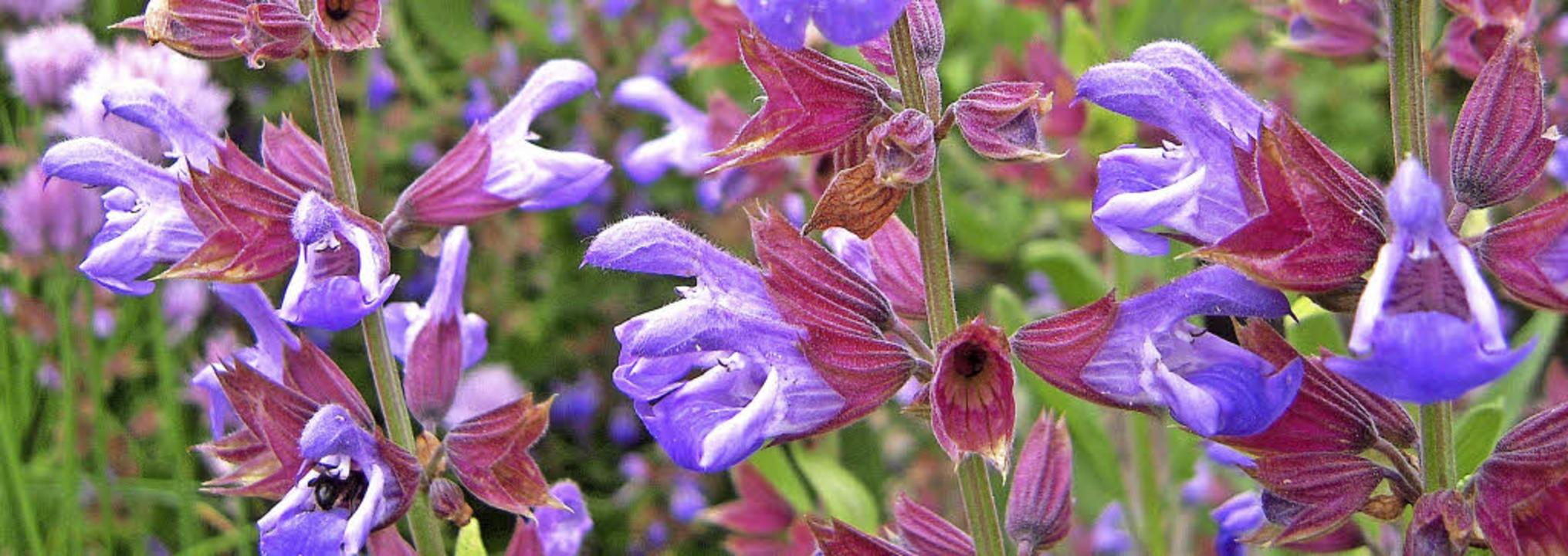 Salbei ist eine der Pflanzen, die im K...rgarten des Alamannen-Museums wächst.   | Foto: Edith Jost