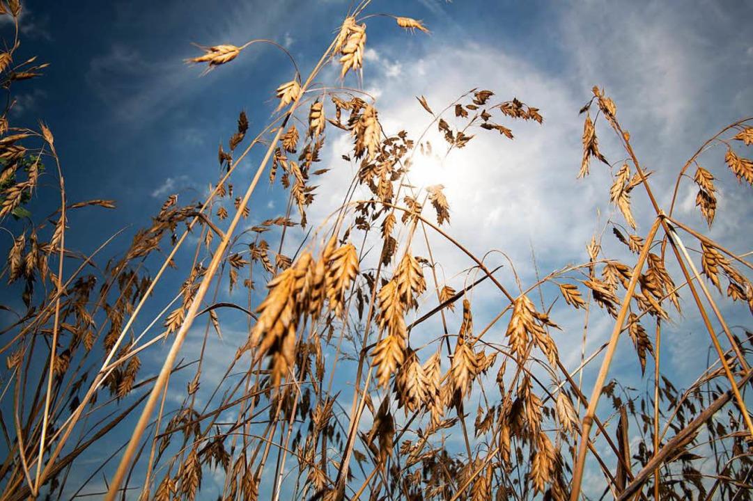 Trockenschäden in der Landwirtschaft    Foto: dpa