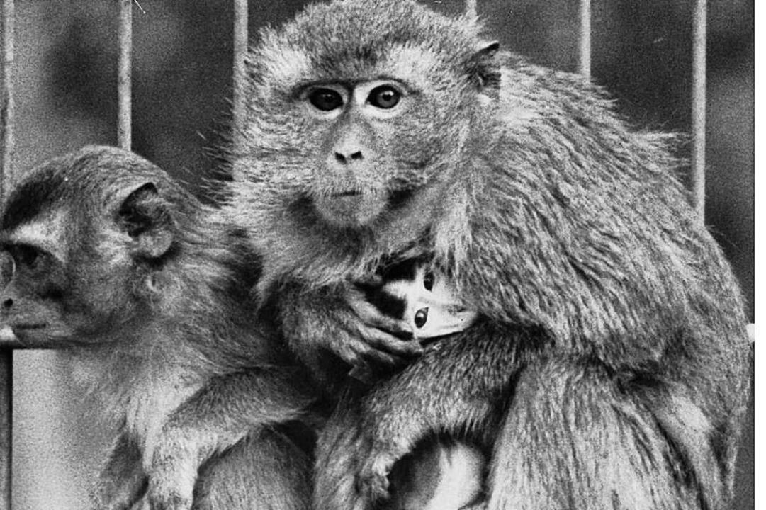 Javaner-Affe mit  Baby (Aufnahme  von März 1988)  | Foto: BZ-Archiv