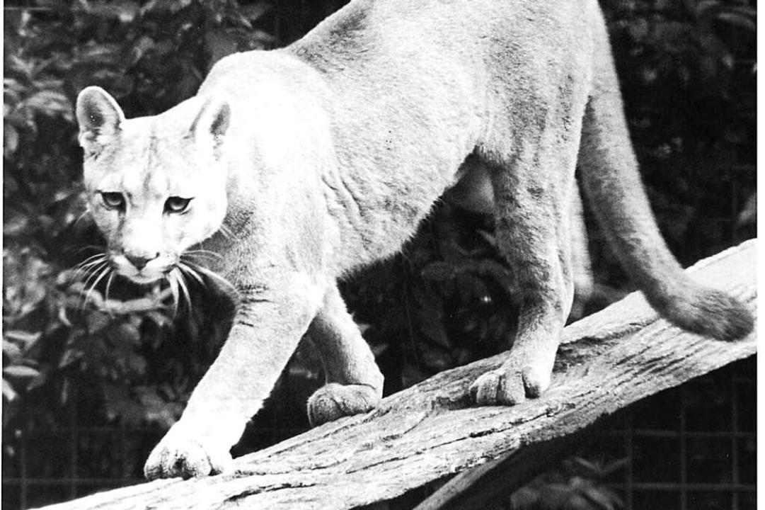 Pumas gab es bis 2000 im Mundenhof  | Foto: BZ-Archiv