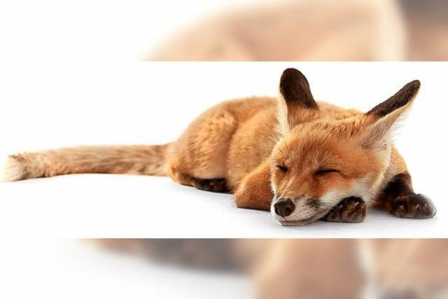 Tote Füchse mit Staupe-Virus bei Denzlingen entdeckt
