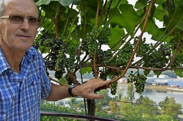 Winzer erwartet bis zu 10 000 Flaschen Hornfelsen-Wein