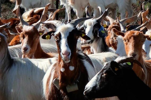 Antenne an Raumstation soll Ziegenherden im Blick behalten