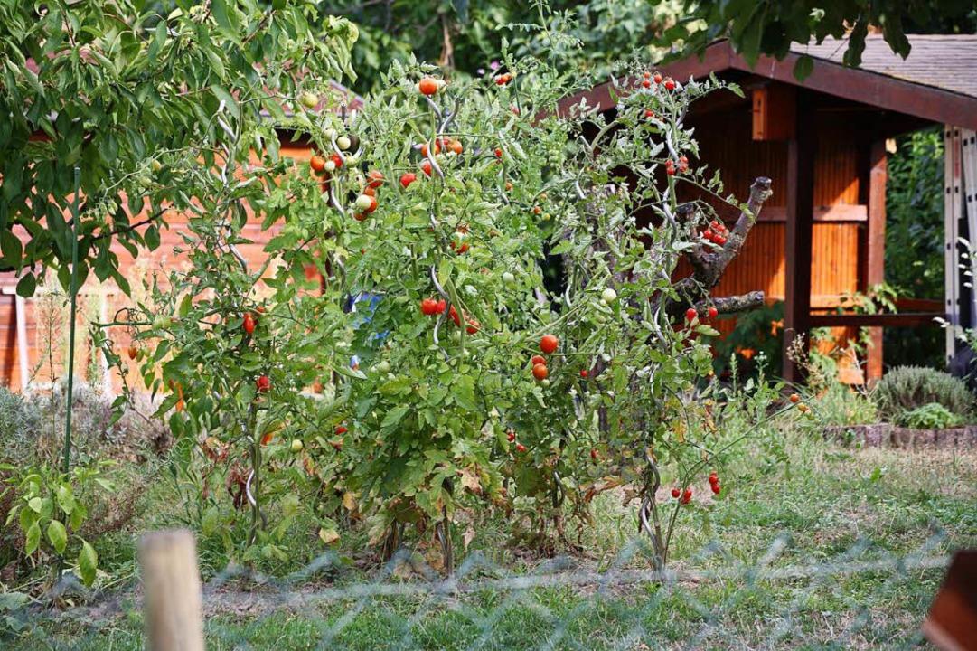 Selbstbedienung in fremden Gärten (Sym...ivate Nutzgärten regelrecht geplündert  | Foto: Martin Wendel