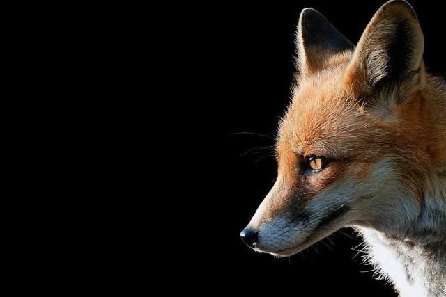 Zahl der an Staupe erkrankten Füchse nimmt immer mehr zu