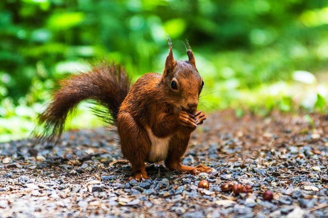 Eigentlich total niedlich: Eichhörnchen (Symbolfoto)  | Foto: Christian Bührer