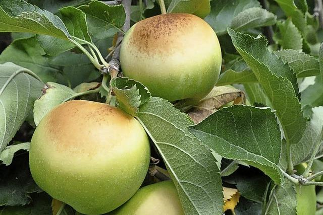Bauern klagen über Apfelsonnenbrand
