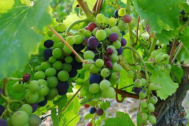 Einheimisches und Exotisches bei Fest und Weinprobe der Haltinger Winzer