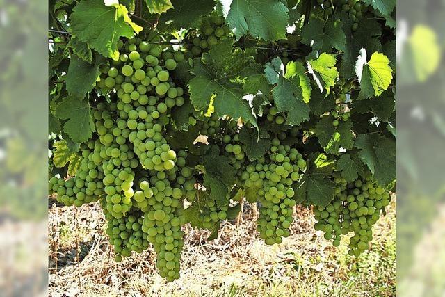 Trauben profitieren von der Hitzewelle