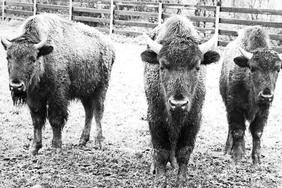 Die gewichtigen Bisons waren Symboltiere des Neustarts im Tierpark.  | Foto: Heinz Wurzer