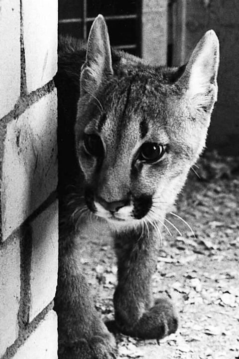 Ein junger Puma auf dem Mundenhof: Diese Zeiten sind vorbei.  | Foto: BZ-Archiv