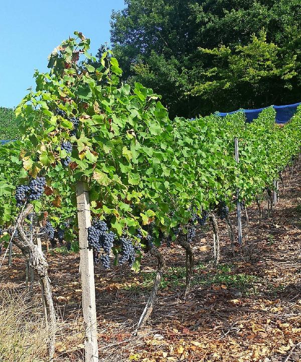 Gute Aussichten: Die Weinlese im Breis...urz bevor. Die Trauben sind fast reif.  | Foto: Gerhard Walser