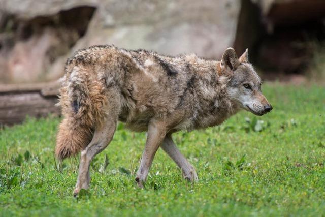 Ermittlungen zum toten Wolf im Schluchsee eingestellt