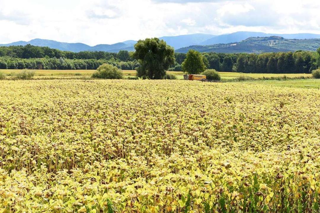 2,8 Hektar an lädierten Sonnenblumen. ...ten bevor die Labyrinth-Saison begann.  | Foto: Rita Eggstein
