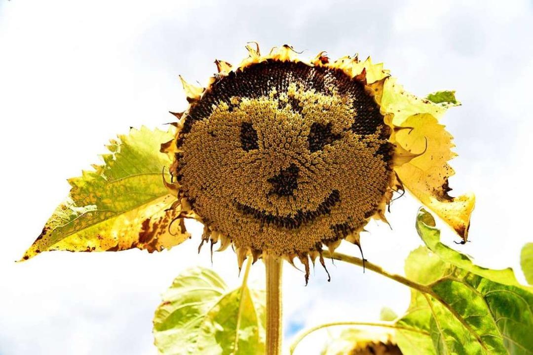 Diese Sonnenblume kann trotz Trockenheit noch lachen.  | Foto: Rita Eggstein