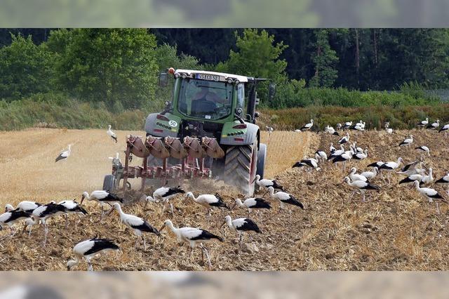 Schwarz-weiße Invasion auf dem Acker